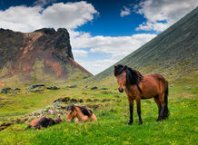 Developed from ponies - Icelandic horses. Stock Photo