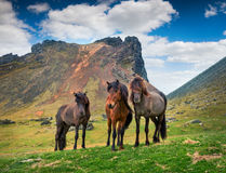 Developed from ponies - Icelandic horses. Royalty Free Stock Photo