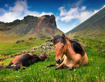 Developed from ponies - Icelandic horses. Royalty Free Stock Photography
