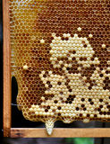 Developing queen bee larvae. Honeycomb with developing queen bee larvae stock images