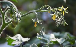 Developing tomatoes on the vine in kitchen garden. Developing tomatoes on plant, indigo tomatoes on fresh vine, pollinated tomato flowers, close-up of tomato Royalty Free Stock Images