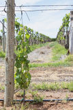 Developing Young Vine In Vineyard. Stock Photos