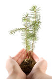 Development. Seedling of fir in human hands Stock Images