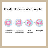 The development of eosinophils. Infographics. Vector illustration Royalty Free Stock Images