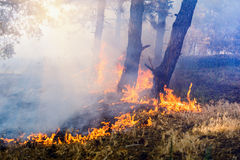 Development of forest fire. Flame is starting trunk trees Stock Photography