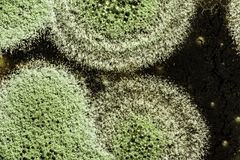 Development of green mold on an organic basis, abstract background. Development of green mold on organic basis, macro abstract background Royalty Free Stock Photo