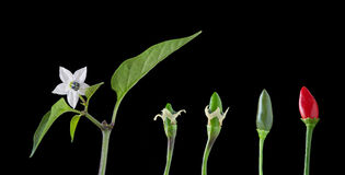 Development Growth Stages of a chili. Isolated on black Royalty Free Stock Images
