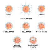 Development of the human embryo. Royalty Free Stock Image