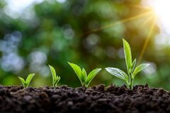 Free Development Of Seedling Growth Planting Seedlings Young Plant In The Morning Light On Nature Background Stock Image - 143501111