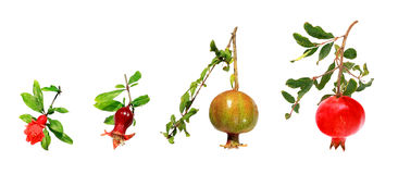 Development of a pomegranate Royalty Free Stock Image
