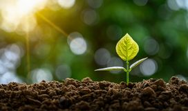 Development of seedling growth Planting seedlings young plant in the morning light on nature background royalty free stock photo