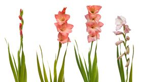 Pink gladiolus with leaves on white background isolated royalty free stock photos