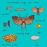 Development stage wax moth color royalty free illustration