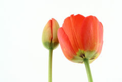 Development of a tulip Stock Image