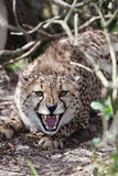 Devensive cheetah Royalty Free Stock Photo