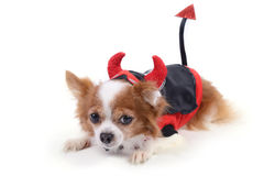 Devil chihuahua 5 Royalty Free Stock Images
