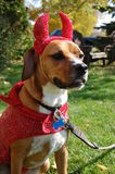 Devil Dog. Boxer Beagle in Devil Halloween costume stock photo