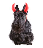 Devil dog Royalty Free Stock Images