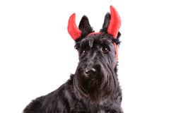 Devil dog Stock Photos