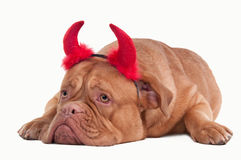 Devil dog of dogue de bordeaux with red hornes Stock Photo