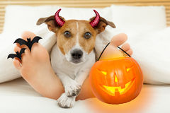 Devil dog for halloween with owner. Jack russell terrier dog looking at you under blanket in bedroom with owner for halloween with devil horns and pumpkin stock images