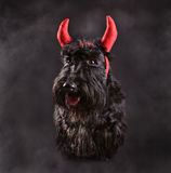 Devil dog Stock Image