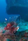 Devil firefish Stock Photo