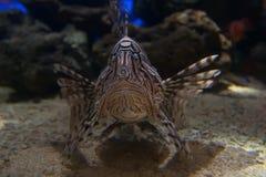 Devil firefish. Devil fire-fish (common lion fish Stock Photos