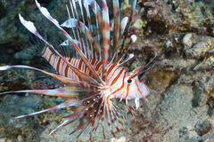 Devil firefish Royalty Free Stock Photography