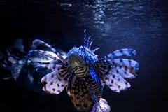 Devil firefish Royalty Free Stock Photos