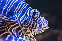 Devil firefish Royalty Free Stock Photos