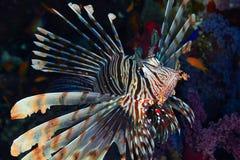 Devil firefish Stock Photography