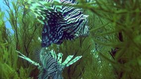 Devil firefish ?ommon lionfish Pterois miles in soft green coral in Red sea. Sudan stock footage