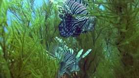 Devil firefish ?ommon lionfish Pterois miles in soft green coral in Red sea. Sudan stock video