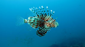 Devil Firefish. Photographed in Ponta Do Ouro Mozambique Stock Image