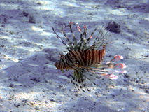 Devil firefish (Pteriois miles) Royalty Free Stock Images