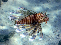 Devil firefish (Pterios miles) Royalty Free Stock Image