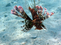 Devil firefish (Pterios miles) Royalty Free Stock Photo
