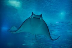 Devil fish Mobula mobular. Also known as the giant devil ray royalty free stock images
