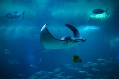 Devil fish Mobula mobular. Also known as the giant devil ray stock images