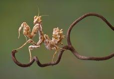 Devil Flower mantis on vine Stock Images