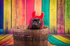 Devil french bulldog stock photo