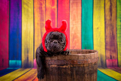 Devil french bulldog Royalty Free Stock Photo
