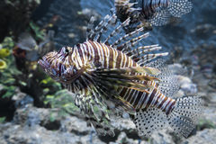 Devil lionfish Royalty Free Stock Photography