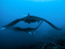 Devil ray Stock Images