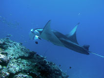 Devil ray. Giant ray in Maldives near Male Town in a cleaning station Stock Photo