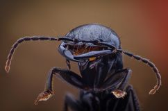 Devil`s coach horse beetle Royalty Free Stock Photos