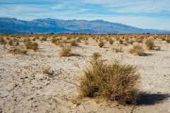 Devil's Cornfield in Death Valley. Bushes in Death Valley National Park, California Stock Photos