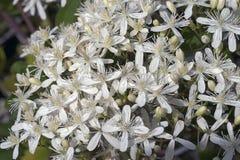 Free Devil`s Darning Needles Flowers Royalty Free Stock Photos - 81326388
