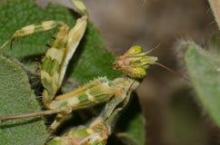 Devil`s flower mantis. Blepharopsis mendica. Pajonales. Integral Natural Reserve of Inagua. Tejeda. Gran Canaria. Canary Islands. Spain stock images